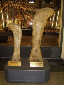 Femur of Brachiosaurus Brancai